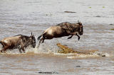 Frank Stober (F1 Online) - Crocodile (Crocodilus niloticus) attacking wildebeests (Connochaetes taurinus) in water, Masai Mara National Reserve, Kenya, hig