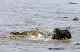 Frank Stober (F1 Online) - Crocodiles (Crocodilus niloticus) attacking wildebeest (Connochaetes taurinus) in water, Masai Mara National Reserve, Kenya, hig
