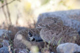 Andreas Geh (F1 Online) - Texas-Klapperschlange (Crotalus atrox), Arizona, USA, Close-up