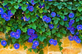Norbert Hohn  (F1 Online) - Climbing plant with blue flowers, Majorca