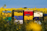 Beate Zoellner (F1 Online) - Colorful beehives in rape field, Sylt, Germany