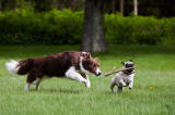 Beate Zoellner (F1 Online) - Border Collie and pug playing in garden