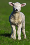 Beate Zoellner (F1 Online) - Lamb on pasture, Sylt, Germany