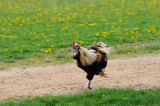 David & Micha Sheldon (F1 Online) - Running Chicken (Gallus gallus domesticus), rooster