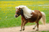 David & Micha Sheldon (F1 Online) - Shetland pony running