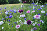 Austrophoto (F1 Online) - Blooming cornflower in meadow