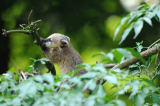 David & Micha Sheldon (F1 Online) - South American Coati (Nasua nasua) in a tree