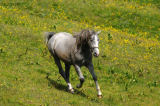David & Micha Sheldon (F1 Online) - Horse running on alpine pasture, Austria