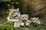 David & Micha Sheldon (F1 Online) - Adult Snow Leopard (Uncia uncia) lying next to two youngs