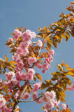 M. Werner (F1 Online) - Blooming Japanese Cherry, Foehr, Germany