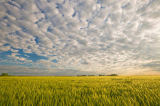 First Light (F1 Online) - Mid-growth headed out barley field and sky filled with clouds, near Niverville, Manitoba, Canada
