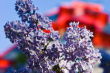 First Light (F1 Online) - Close-up of lilacs, Square Saint-Louis, Montreal, Quebec