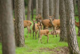 David & Micha Sheldon (F1 Online) - Red deers, Cervus elaphus, in forest