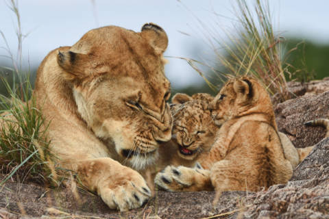 Nostalgia lioness with cubs of artist Aziz Albagshi as framed image