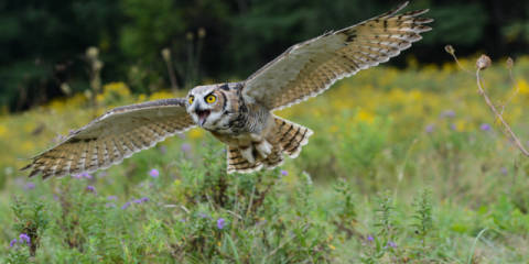 Spread Your Wings and Fly of artist Darlene Hewson, Owl, Bird, Avian, Taken, Great, Raptor, Flying, Flight