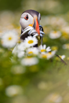 Puffin & daisies of artist Mario Suárez, Due, Over, Fish, Year, Menu, Bird, Areas, Daisy
