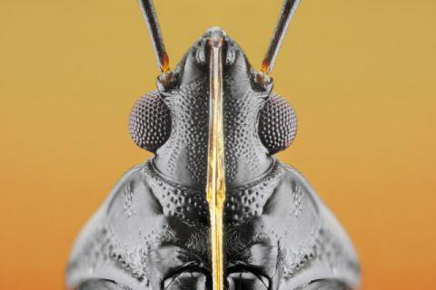 Plant Bug (Fulvius imbecilis) of artist Donald Jusa, Eyes, Bugs, 50mm, Kutai, Nikon, Focus, Macro, Insects