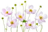 Mandy Disher - Japanese Anemones