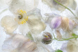 Mandy Disher - Anemone frost