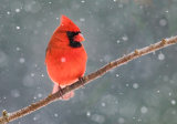LM Meng - Mr. Cardinal in the snow