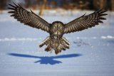 Jim Cumming - In your face - Great Grey Owl