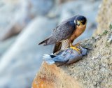 Andrew J. Lee - Falcon with prey.