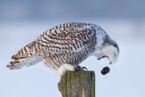 Jim Cumming - Cough it up buddy - Snowy Owl
