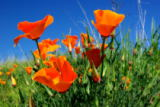 Don Bendickson - California Poppy And Blue Sky