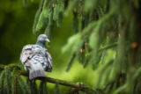 Viktor Cap - Common Wood Pigeon (Columba palumbus)