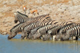 Nico Smit - Plains Zebras drinking water