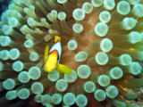 Erich Teister - Anemone fish on bubble anemone
