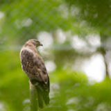 Viktor Cap - Majestic hawk perching on a dead tree against lush green background