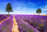 beatrice preve - LAVENDER IN SOUTH OF FRANCE