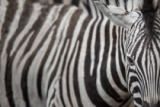 Viktor Cap - Zebra - close-up view with accent on the unique skin pattern we admire in this animal