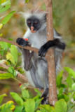 Nico Smit - Zanzibar red colobus monkey