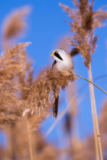Arpad Radoczy - Bearded tit on the reed, male