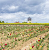 Joerg Hackemann - Spring field with colorful tulips and water tower