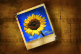 Ingram Vitantonio Cicorella - Old polaroid picture with sunflower against grunge background