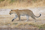 Nico Smit - Leopard walking