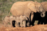 Nico Smit - African elephant with calves